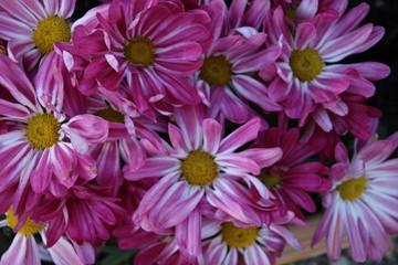 background of pink Chryshantemum