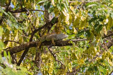 Leguan lauert im Baum