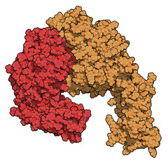 Integrin alpha-4 beta 7 (a4b7, headpiece). Cell surface protein complex that plays a role in directing T lymphocytes to the gut. 3D rendering based on protein data bank entry 3v4v.