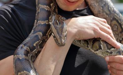 Man holding snake tiger python in hands
