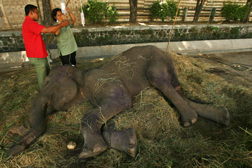 File photo of veterinarians treating a female elephant at a Surabaya zoo in East Java province