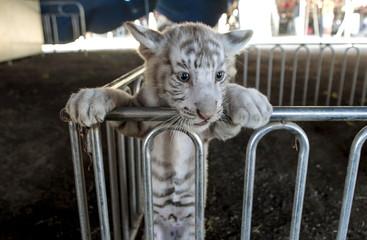 A white bengal tiger cub is photographed while take a break inside Circo de Renato at Ciudad Sandino