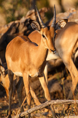 Impala - Chobe N.P. Botswana, Africa