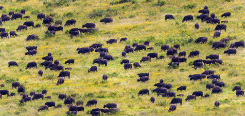 A Huge Herd of Wild African Cape Buffalos, Tanzania Africa