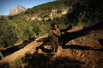 A worker pulls a net with olives during their harvest at a grove in the outskirts of Antequera
