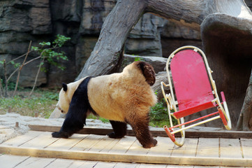 Giant panda falls from a rocking chair at Beijing Zoo
