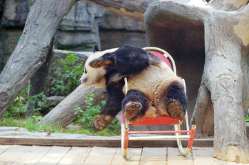 Giant panda sits on a rocking chair at Beijing Zoo