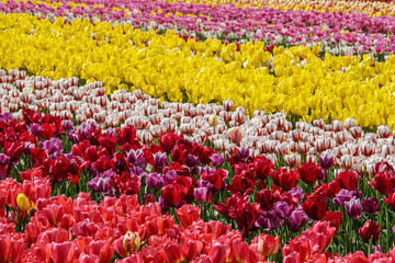 A field of yellow and red tulips country farm
