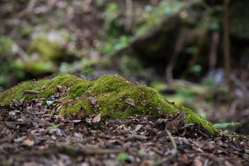 新緑の森とコケ
