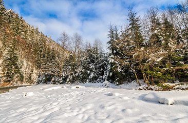 spruce forest on snowy meadow in mountains