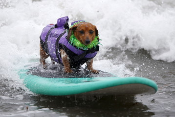 Coopertone, a surfing dachshund, rides a wave during the small dog competition at the 10th annual Petco Unleashed surf dog contest at Imperial Beach