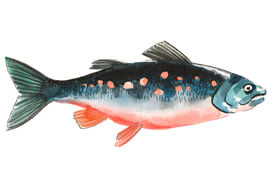 Watercolor salmon fish