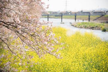 龍巌淵の桜と菜の花