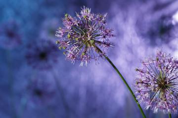 Purple onion blossom in the garden, close up.