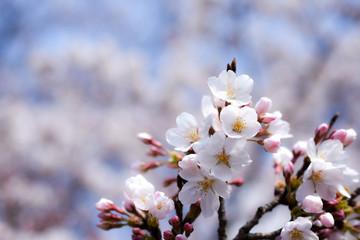 マクロの桜 ソメイヨシノ