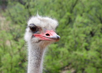 Poster Ostrich Portrait of one male ostrich, looking slightly to viewers right. Green bushes in background. The ostrich is a large flightless birds native to Africa. Males have a pink beak