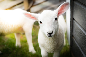 Potrait of a cute lamb