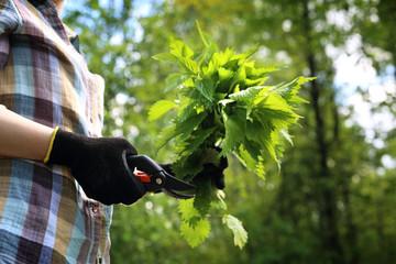 Fototapeta Ziele pokrzywy. Kobieta zbiera pokrzywy  w lesie. obraz