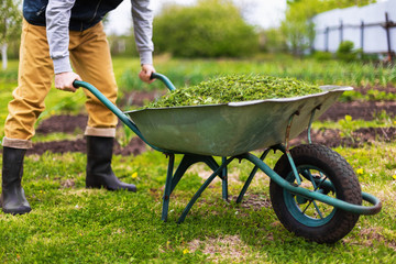 Farmer is holding old wheelbarrow full of grass at green summer garden background.