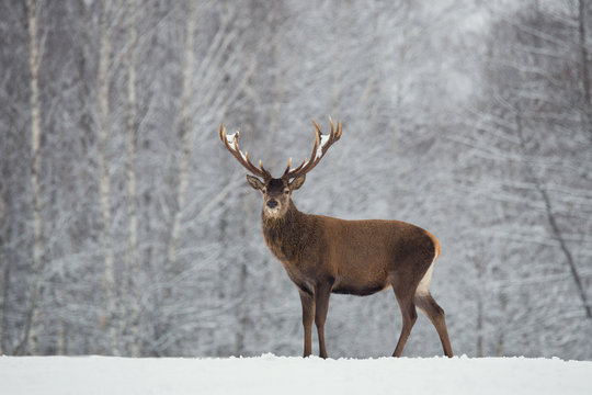 Noble deer with big beautiful horns on snowy field on forest background.European  wildlife landscape with snow and deer with big antlers.Portrait of Lonely elk.