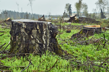 Stump of the felled birch tree in the field which has been subjected to deforestation