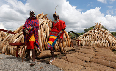 Traditional Maasai tribesmen pose for a photograph near elephant tusks, part of an estimated 105 tonnes of confiscated ivory to be set ablaze, stacked onto a pyre at Nairobi National Park near Nairobi