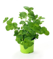 Mint  / Mentha in a pot