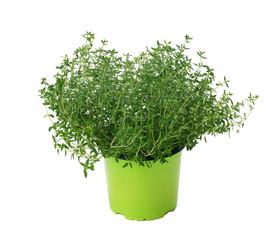 Thyme / Thymus vulgaris in a pot