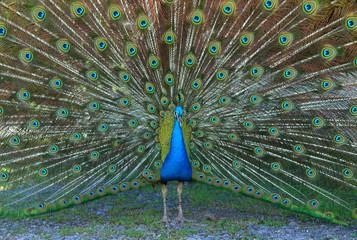 Male Blue Peafowl displaying