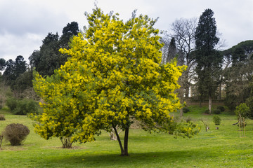 Yellow flowers of acacia dealbata, silver, blue wattle, mimosa tree i