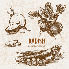 Digital vector detailed line art radish vegetable hand drawn retro illustration collection set. Thin artistic pencil outline. Vintage ink flat style, engraved simple doodle sketches. Isolated