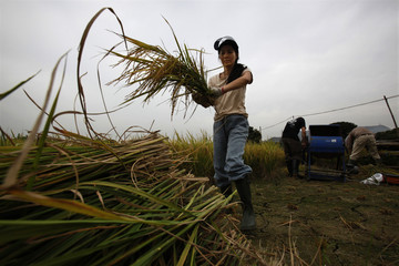 Volunteers harvest rice in one of the last paddy fields in Hong Kong
