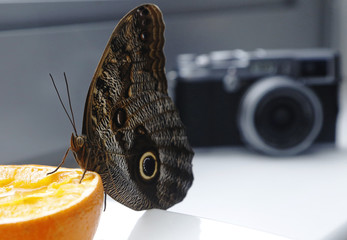 A Caligo eurilochus butterfly feeds on an orange at the studio of photographer Alexander James in London