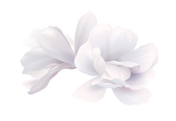 Illustration of two white beautiful magnolia, Spring flower isolated on white background Wall mural