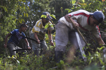 Child workers use machetes to clear weed to help the growth of coffee plants at a plantation in El Paraiso