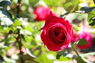 色鮮やかな薔薇