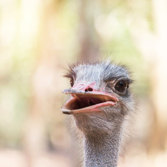 Close up head of ostrich ( Struthio camelus )