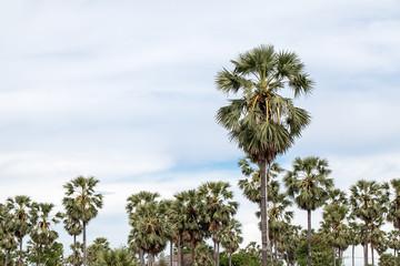 Toddy or Sugar palm (Borassus flabellifer) in farm