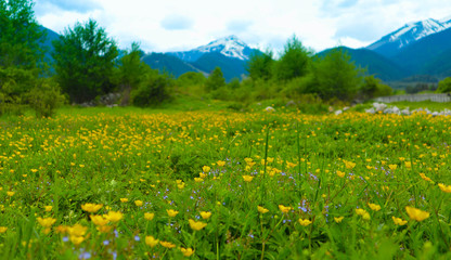 Meadow flowers, mountain nature, summertime. Photo depicts a plenty of the yellow colorful meadow flowers, growing in the green grass. Close up, blurred mountain on the background.