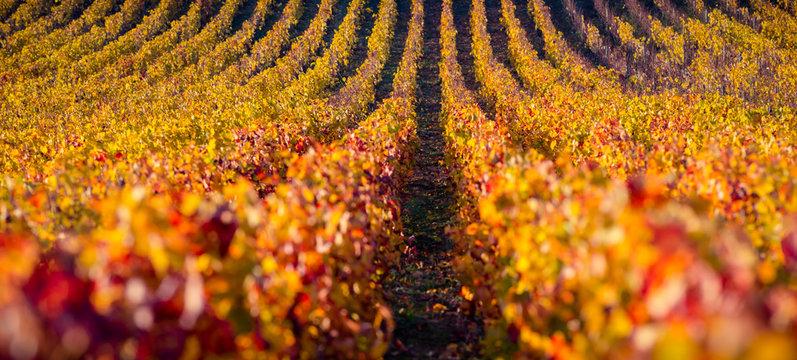 vignes en automne