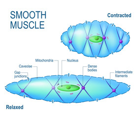 smooth muscle cell.