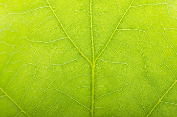 Background of green leaf with veins