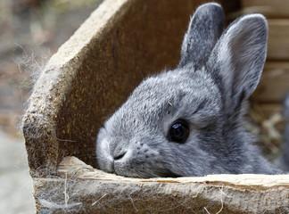 Chinchilla rabbit looks out of box in rabbit farm in Moosburg