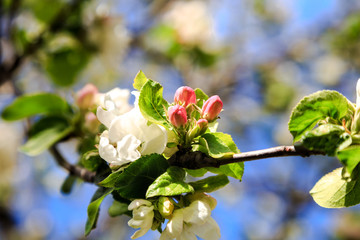 flowering branch of Apple