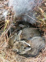 wild baby rabits nest