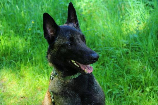 portrait chien malinois regard dissuasif