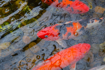 Koi Carp Fish or Brocaded Fish in Pond with water reflect wave light colorful red vibrant colors.