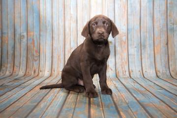 Labrador Retriever on blue wooden background
