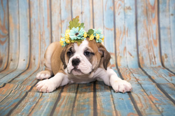 English Bulldog on blue wooden background