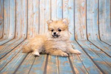 Pomeranian on blue wooden background